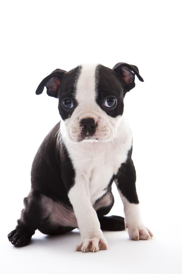 Terrier di Boston immagine stock libera da diritti