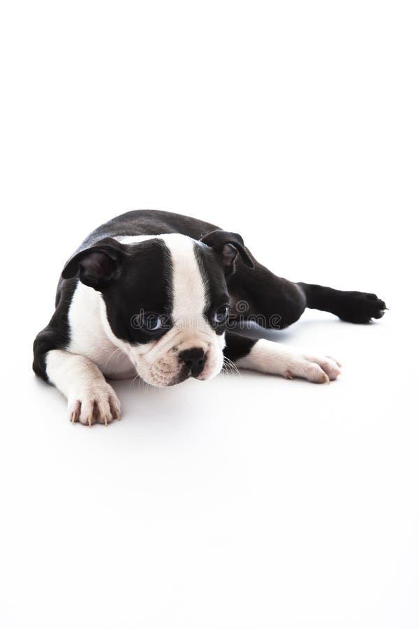 Terrier di Boston fotografie stock libere da diritti