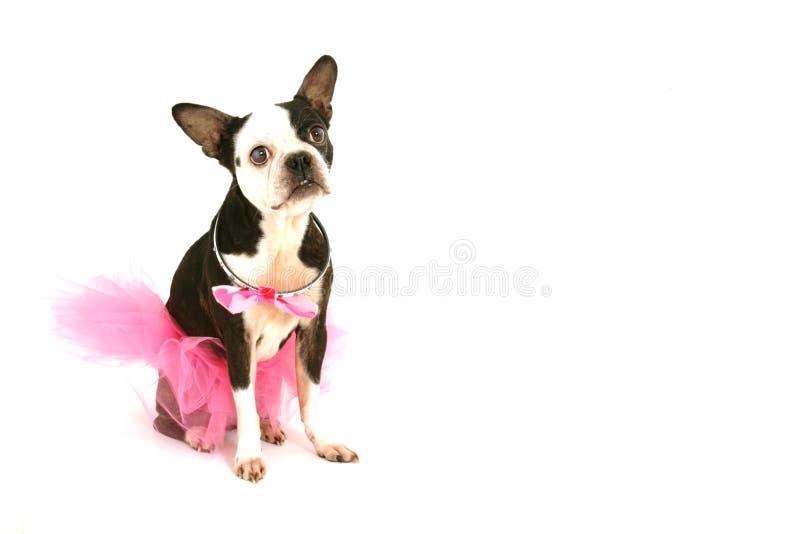 Terrier di Boston con il tutu fotografia stock libera da diritti