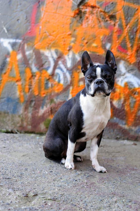 Terrier di Boston e graffiti 2 fotografie stock libere da diritti