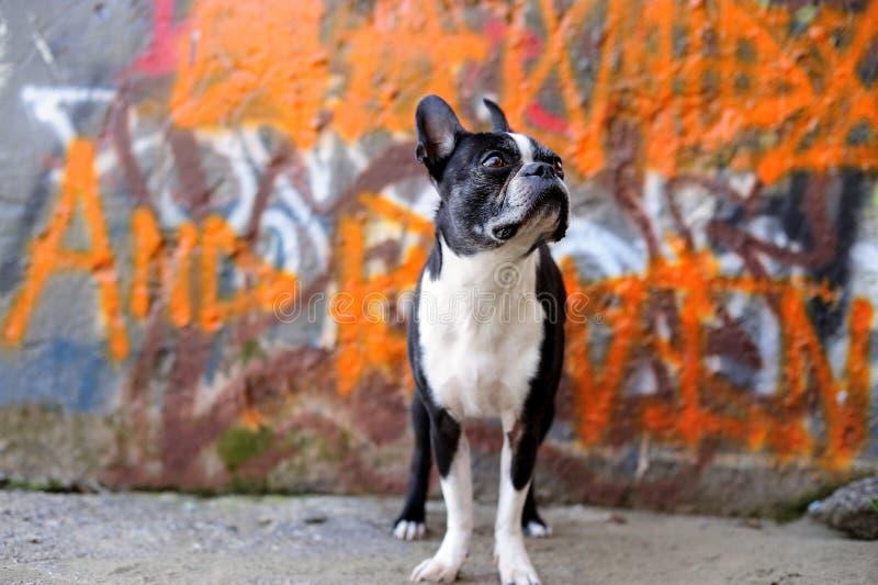Terrier di Boston e graffiti arancioni 2 immagini stock libere da diritti