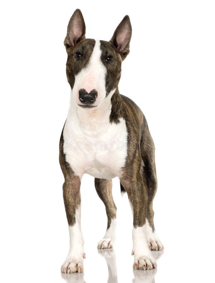 Terrier di Bull (2 anni) fotografie stock