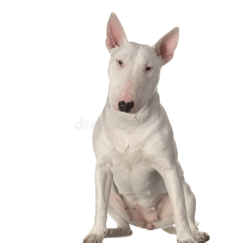 Terrier di Bull immagine stock