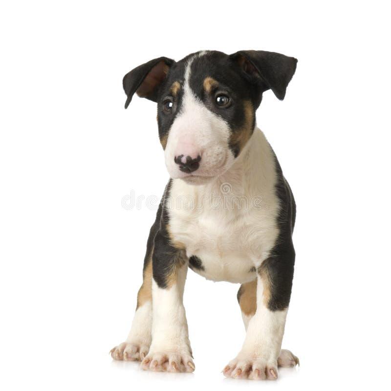 Terrier di Bull immagini stock libere da diritti