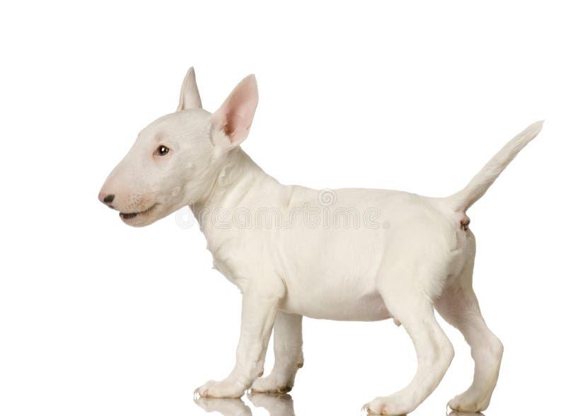Terrier di Bull fotografie stock libere da diritti