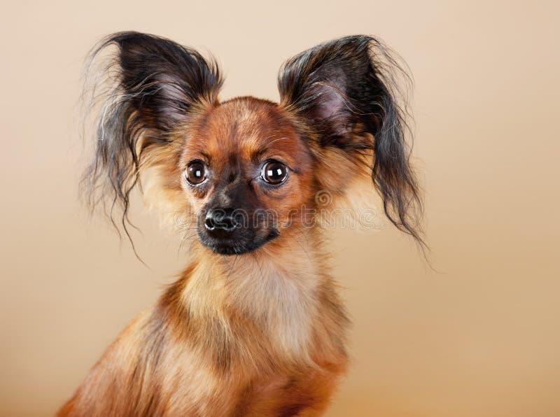 Terrier di giocattolo russo dei cuccioli fotografia stock libera da diritti