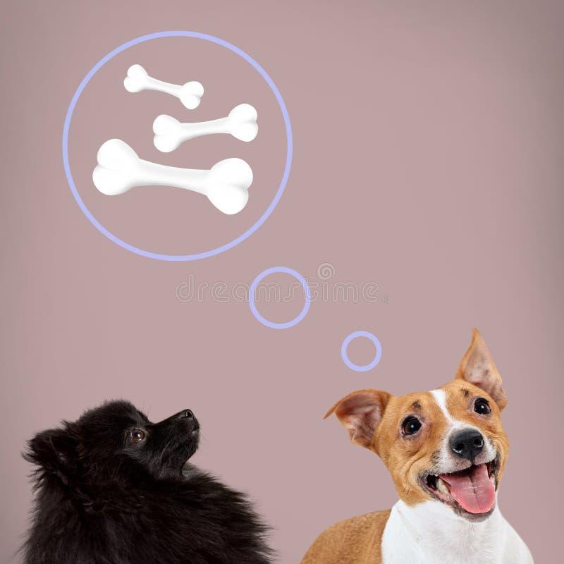 Terrier di Jack russell e spitz tedesco nero che si siedono e che sognano delle ossa fotografia stock