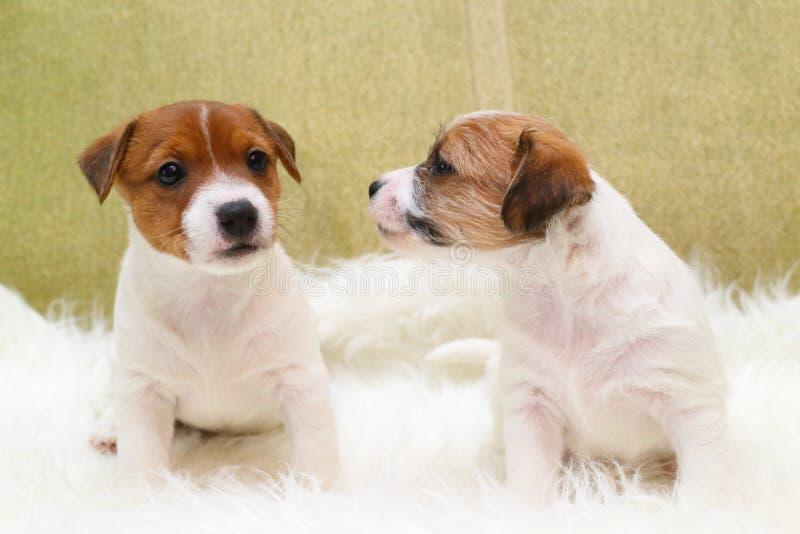 Terrier di russell della presa di due cuccioli immagini stock