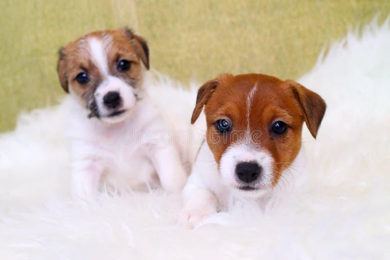 Terrier di russell della presa di due cuccioli fotografia stock libera da diritti