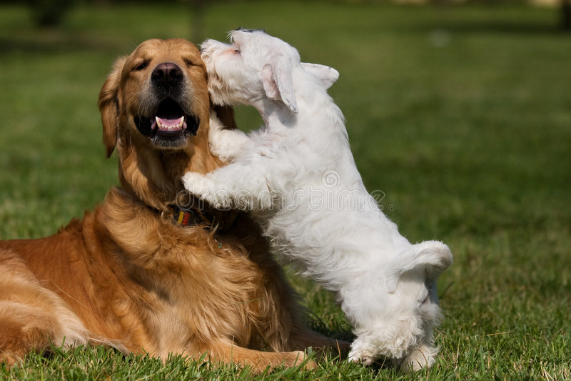 Terrier di Sealyham e dorato fotografia stock libera da diritti