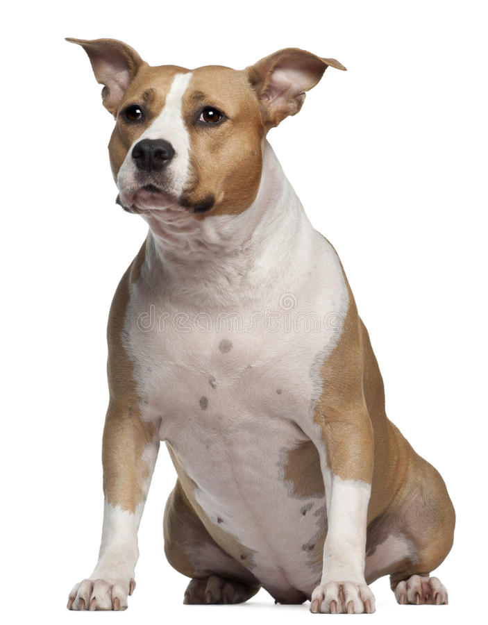 Terrier di Staffordshire americano, 3 e una metà fotografia stock