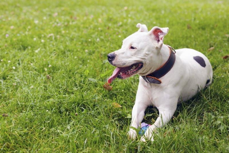 Terrier di Staffordshire americano bianco, trovantesi nell'erba fotografie stock