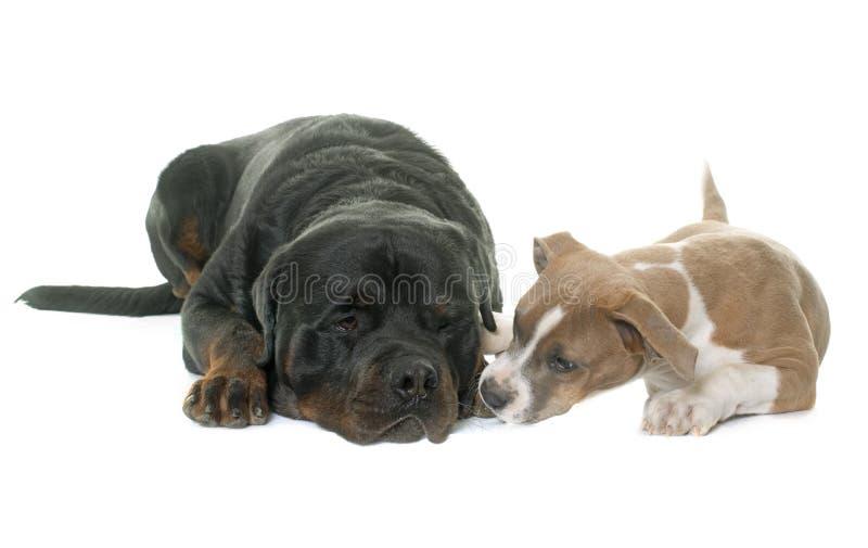 Terrier di Staffordshire americano del cucciolo e rottweiler fotografie stock libere da diritti