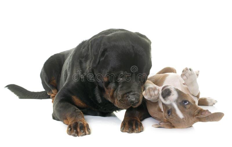 Terrier di Staffordshire americano del cucciolo e rottweiler fotografia stock libera da diritti