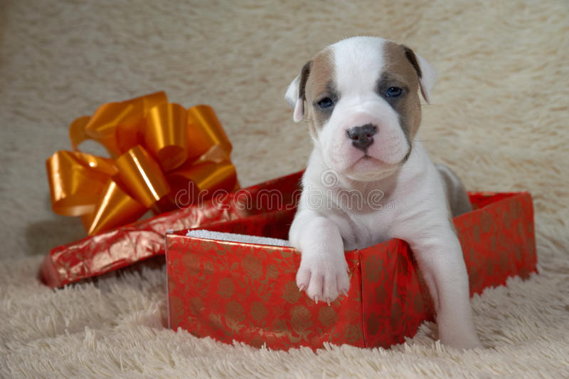 Terrier di Staffordshire americano del cucciolo in un contenitore di regalo fotografia stock libera da diritti