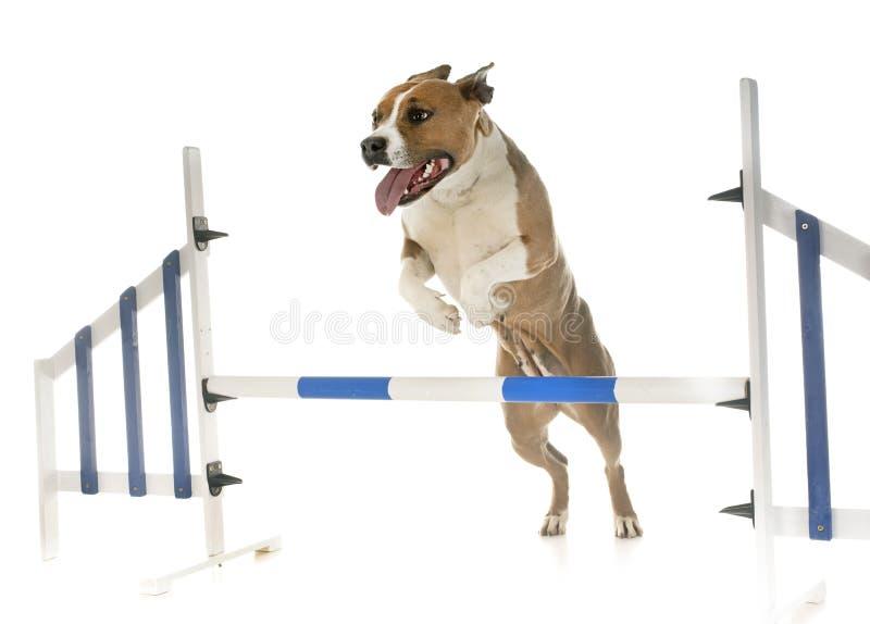 Terrier di Staffordshire americano di salto immagini stock libere da diritti
