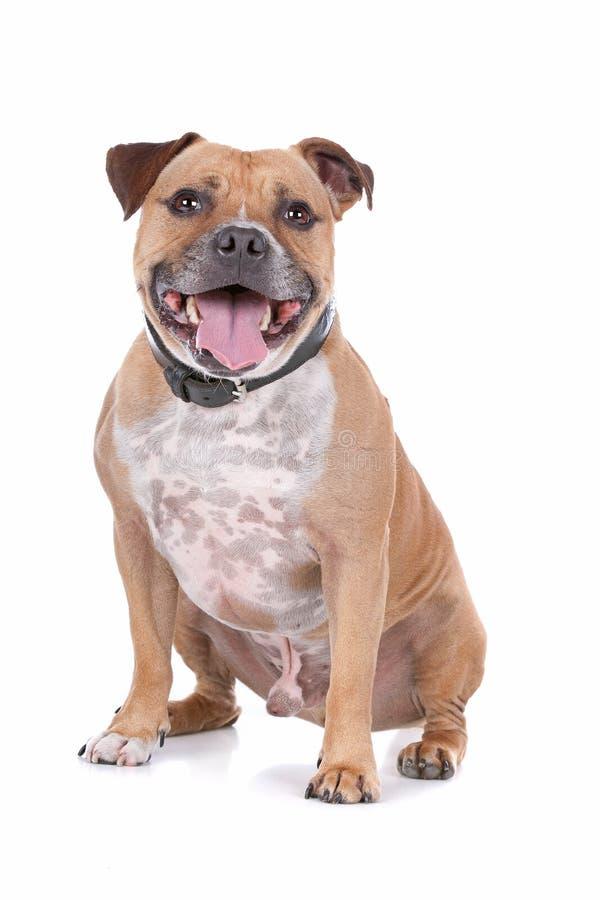 Terrier di toro dello Staffordshire fotografia stock