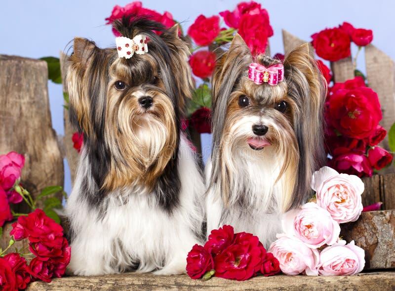 Terrier di York fotografia stock libera da diritti