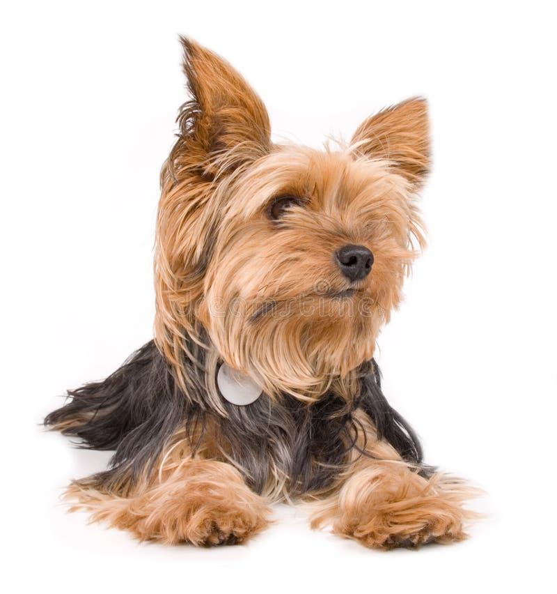 Terrier di Yorkshire immagini stock