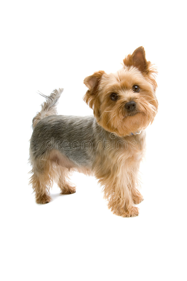 Terrier di Yorkshire fotografia stock libera da diritti