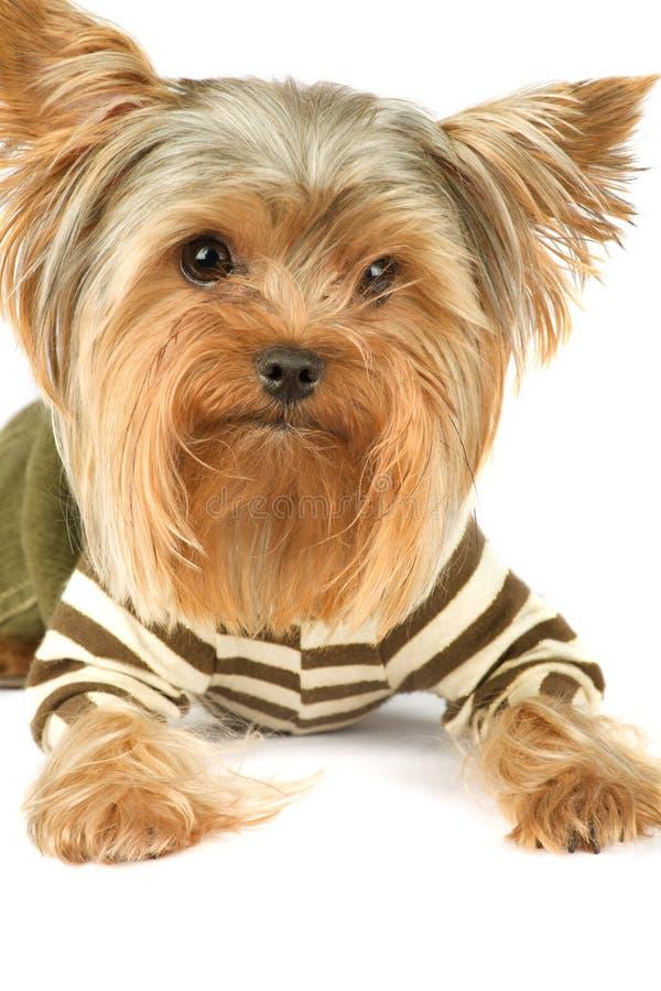 Terrier di Yorkshire immagine stock