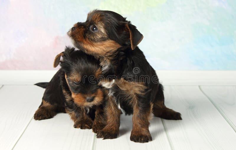 Terrier di Yorkshire dei due cuccioli fotografia stock libera da diritti