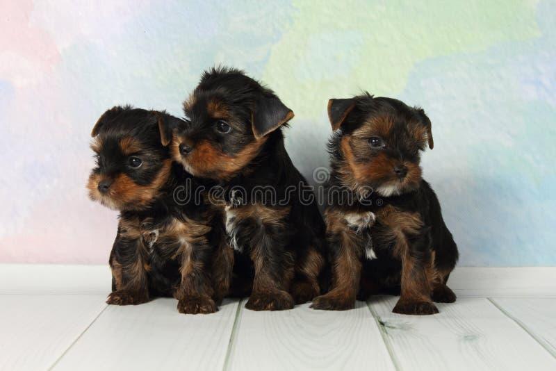 Terrier di Yorkshire dei tre cuccioli fotografie stock libere da diritti