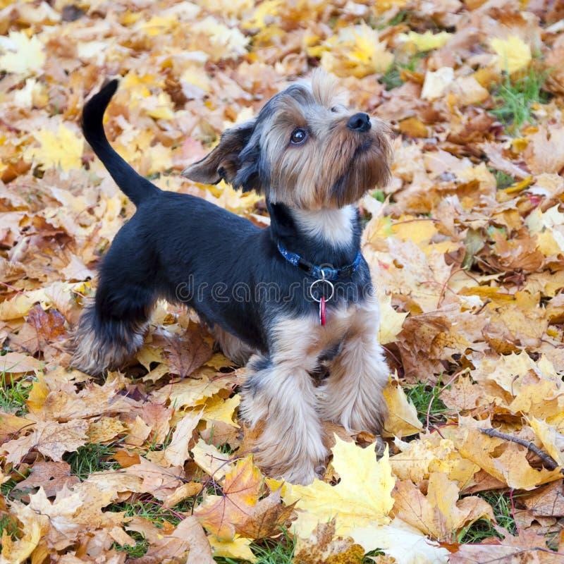 Terrier di Yorkshire del cane immagine stock