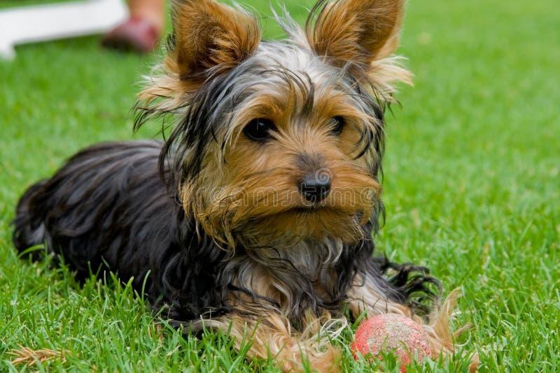Terrier di Yorkshire I. fotografia stock libera da diritti