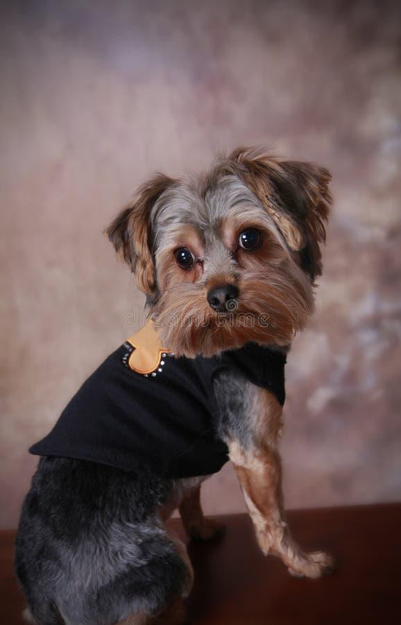 Download Terrier Di Yorkshire In Maglione Immagine Stock - Immagine di yorkshire, proposta: 7314451