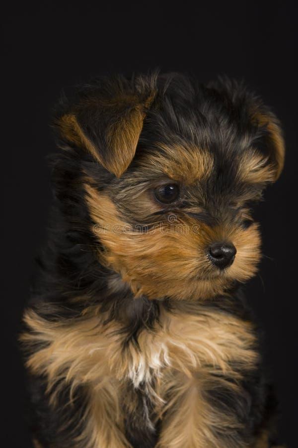 Terrier di Yorkshire sveglio fotografie stock libere da diritti