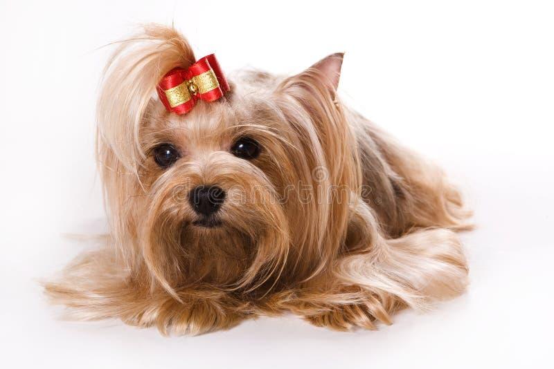 Terrier di Yorkshire (Yorkie) immagini stock libere da diritti
