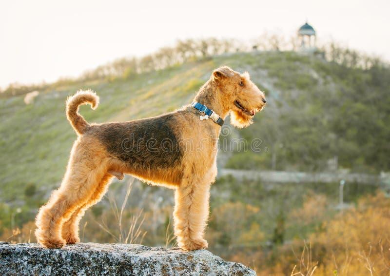 Terrier do Airedale foto de stock