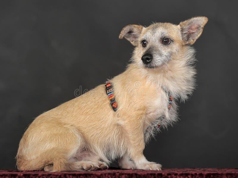 Terrier do híbrido no estúdio fotos de stock royalty free