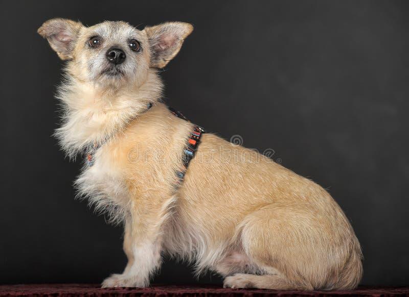 Terrier do híbrido no estúdio imagens de stock royalty free