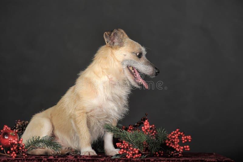 Terrier do híbrido no estúdio imagem de stock