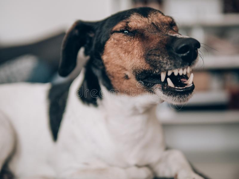 Terrier dog yawn at home and bares his teeth. Hunting dog yawning indoor royalty free stock photo