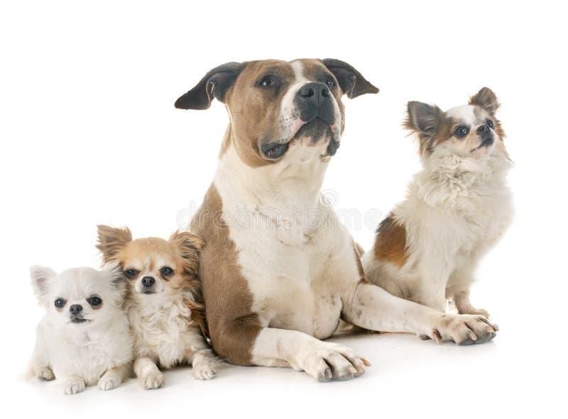 Terrier e chihuahua di Staffordshire americano fotografia stock