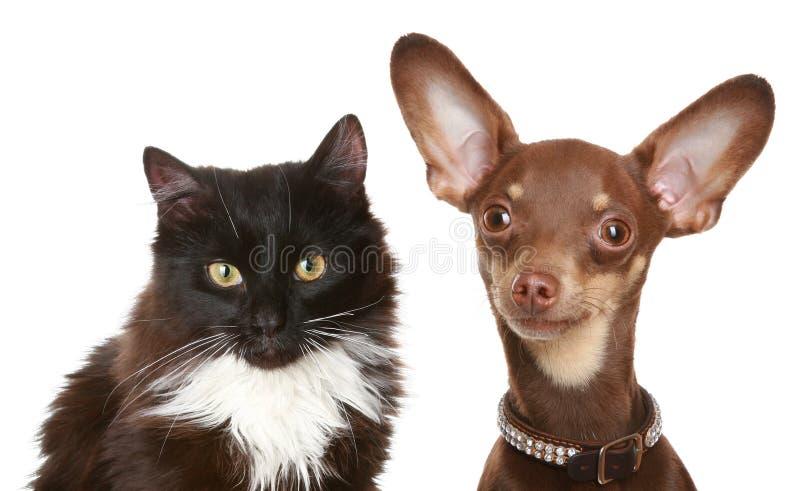 Terrier e gatto di giocattolo russi. fotografia stock