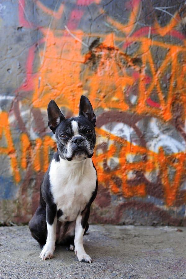 Terrier e grafittis de Boston imagens de stock royalty free