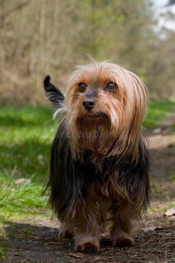 Terrier en soie australien photos stock
