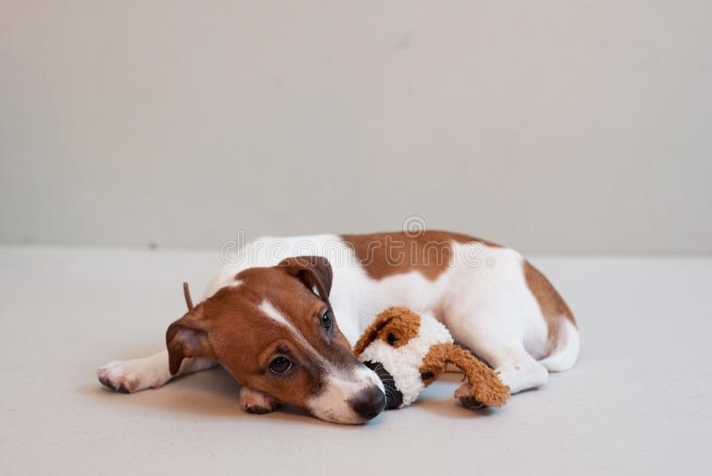 Terrier engraçado bonito de russell do jaque do cachorrinho em um fundo claro com brinquedo imagem de stock royalty free