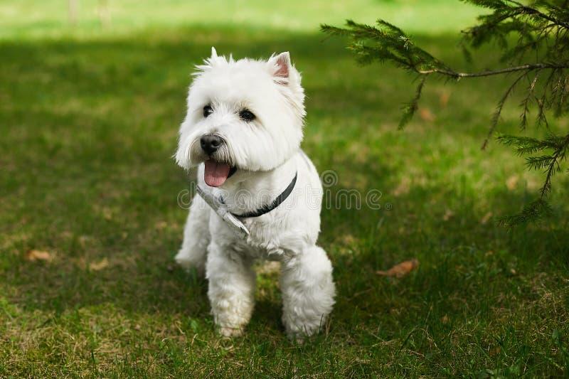 Terrier escocés blanco lindo en la corbata de lazo que presenta en la hierba verde en el día de verano soleado foto de archivo