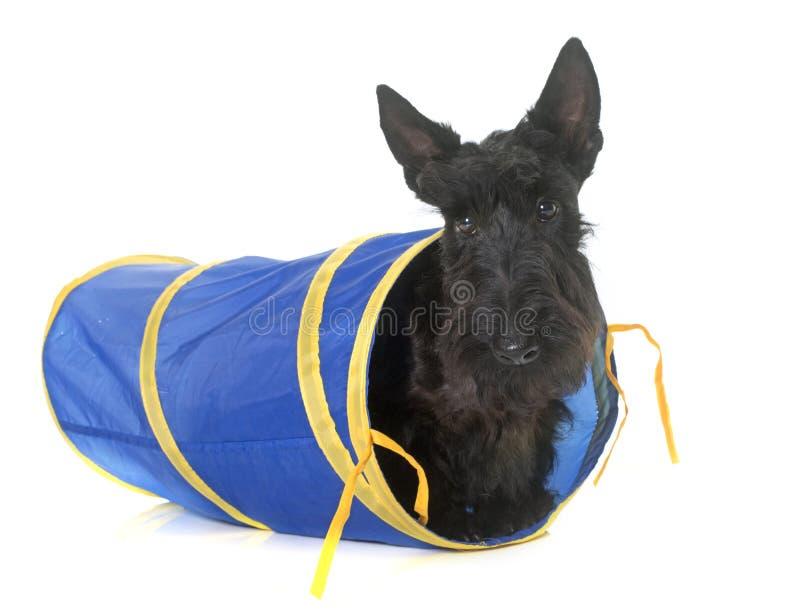 Terrier escocés joven en túnel imagenes de archivo
