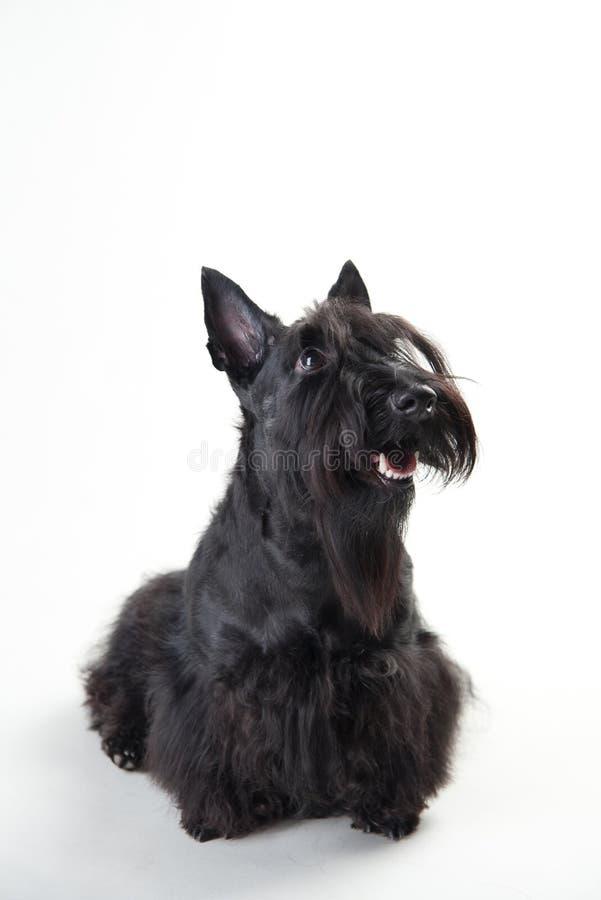 Terrier escocés joven en un fondo blanco imagen de archivo