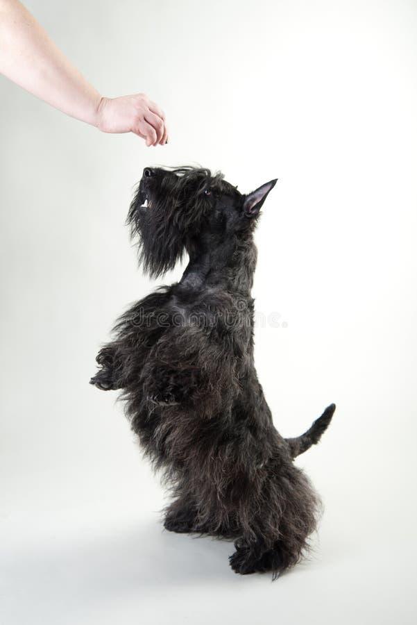 Terrier escocés joven en un fondo blanco foto de archivo libre de regalías