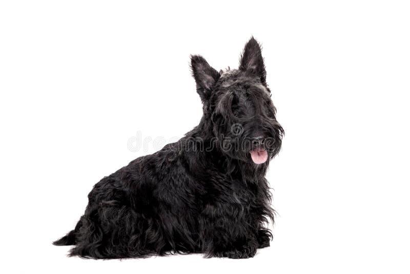 Terrier escocés negro en el fondo blanco foto de archivo