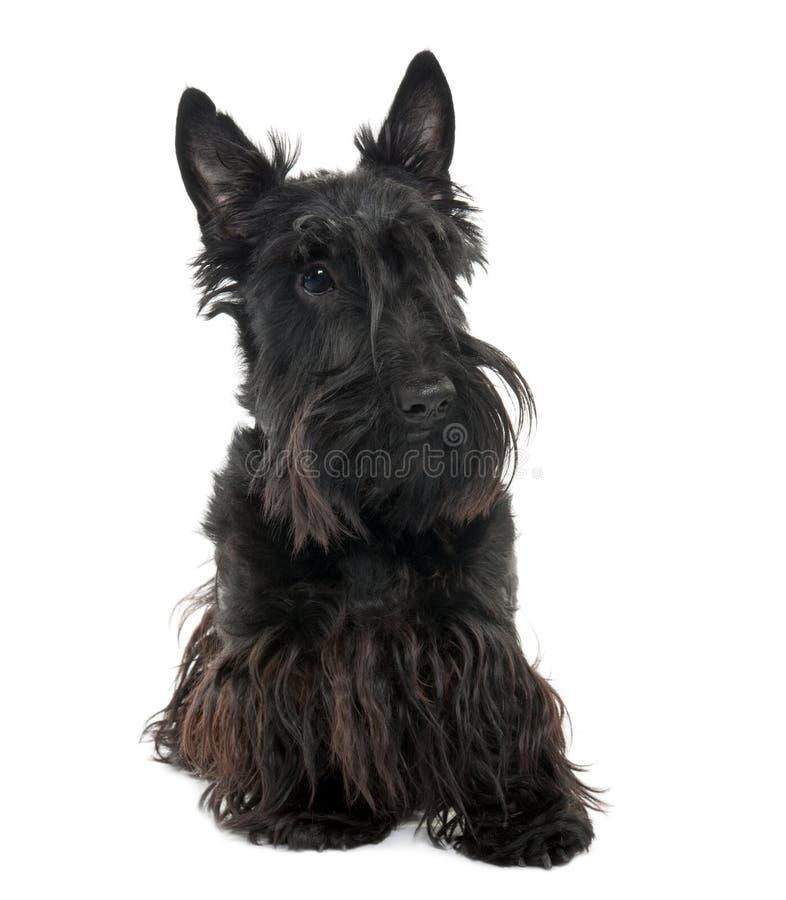 Terrier escocês (16 meses velho) fotografia de stock royalty free
