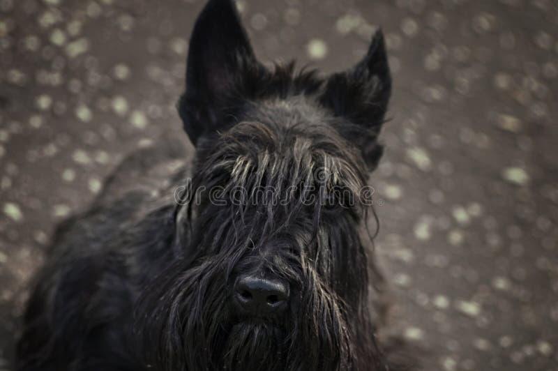 Terrier escocês fotos de stock