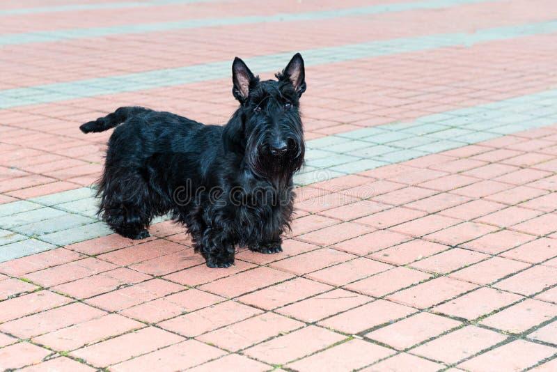 Download Terrier escocês imagem de stock. Imagem de amor, scotland - 65578359